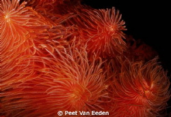 Feather duster worms by Peet Van Eeden